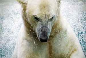 close up of a diving ice bear - polar bear