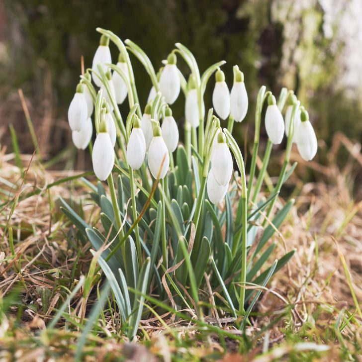 Snowdrops green grass in the spring from close range macro selective focus
